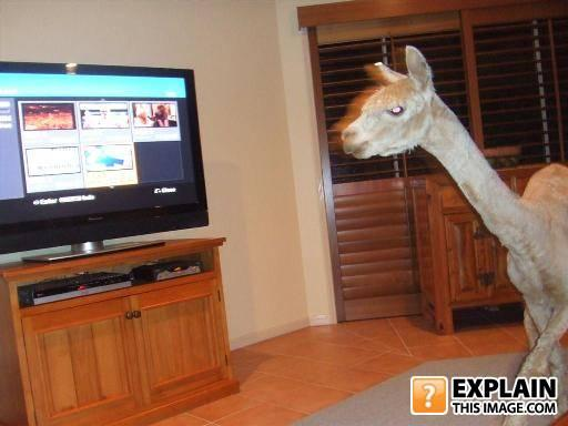 - Get that  llama out of my house!